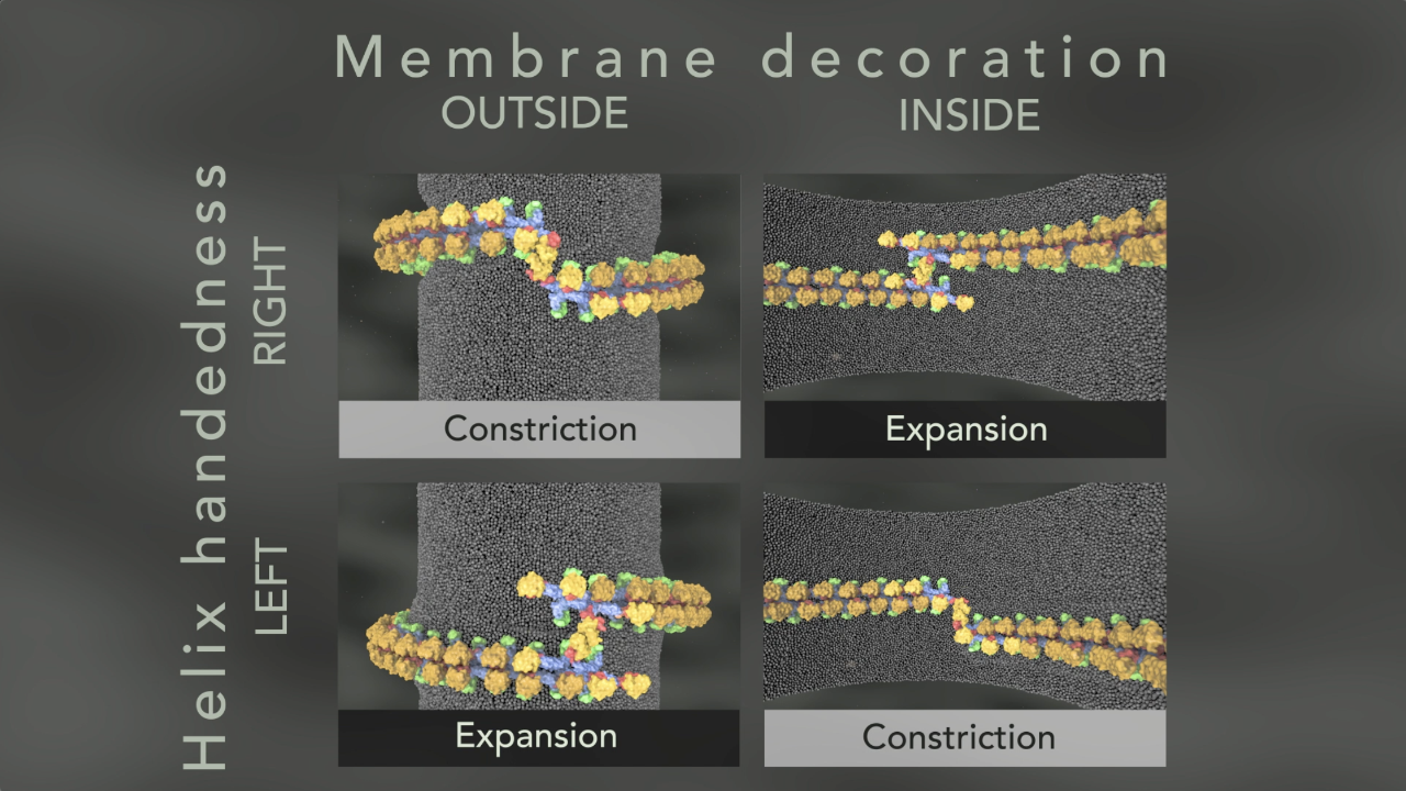 Potential membrane remodelling by Mgm1